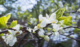 Apple in bloom. Tree branch with white flowers. In spring garden. Close-up photo with selective focus Royalty Free Stock Photo