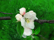 Apple blooming Royalty Free Stock Image