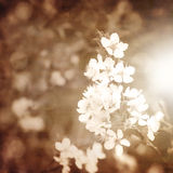 Apple blooming branch Stock Images