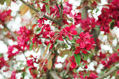 Free Apple Blooming Branch Stock Images - 71721654