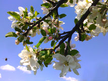 APPLE BLOOMING BRANCH AND A BEE Stock Image