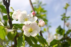 Apple blooms Stock Photos