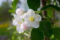 Apple blooms Royalty Free Stock Photography