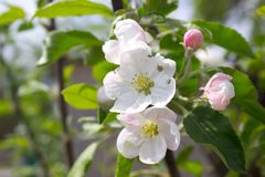Apple blooms Stock Images