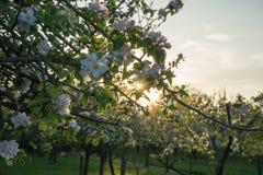 Apple blossem i aftonrodnaden Fotografering för Bildbyråer