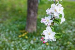 Apple blossim Στοκ φωτογραφίες με δικαίωμα ελεύθερης χρήσης