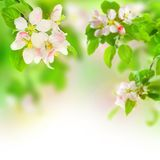 Apple Blossom. Beautiful Apple Blossoms.Selective focus stock photo