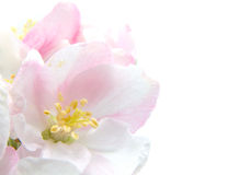 Apple Blossom. Closeup.Studio isolated with with room for text Royalty Free Stock Image