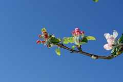 Apple blossom Royalty Free Stock Photos