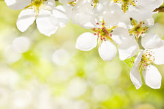 Apple blossom royalty free stock photo