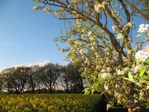 Apple blossom. A blooming apple tree in front of a yellow rape field and a blue sky Royalty Free Stock Photography