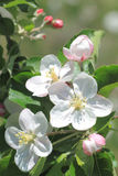 Apple blossom Stock Photo