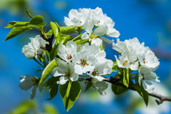 Free Apple Blossom Stock Photos - 30901933