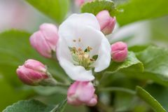 Apple Blossom. Apple tree flower Royalty Free Stock Photos