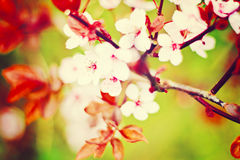 Free Apple Blossom Royalty Free Stock Photography - 49732447