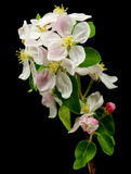 Apple blossom. On black background Royalty Free Stock Images