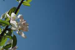 Apple blossom. Against a blue sky royalty free stock photography