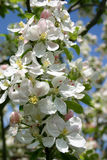 Apple blossom. Springtime apple blossom royalty free stock images