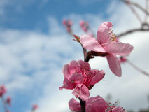 Apple tree Blossom flowers. Apple tree Blossom  flowers In Spring time with a blue cloudy sky as background Royalty Free Stock Photography