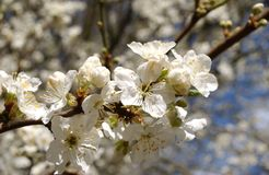 Apple Blossom. A apple blossom flower royalty free stock images