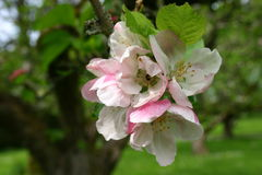 Apple Blossom. Close up of an apple blossom Stock Photo