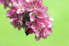 Apple blossom. And bee against green background Stock Photography