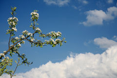 Apple blossom. And blue sky Royalty Free Stock Images