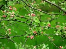 Apple blossom. S Royalty Free Stock Photos