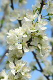 Apple Blossom. Close-up of apple blossom flowers Stock Image