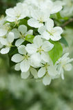 Apple blossom. Apple tree blossom. Close up Stock Photos