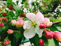 Free Apple Blossom Royalty Free Stock Images - 94662199