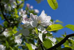 Apple blossom against blue sky Royalty Free Stock Photo