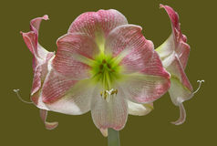 Apple Blossom Amaryllis Stock Images