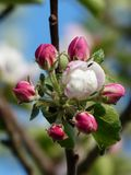 Apple Blossom, Apple Tree, Blossom Stock Photos