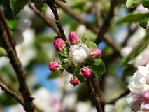 Apple Blossom, Apple Tree, Blossom Stock Images