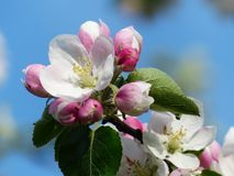 Apple Blossom, Apple Tree, Blossom Stock Photo