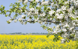 Apple blossom. On a background of blue sky and rapeseed field stock photos