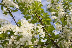 Apple blossom background Royalty Free Stock Photos