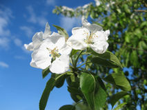 Apple blossom on a background of light blue sky Royalty Free Stock Photography