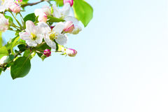 Apple blossom background. Selective focus Stock Images