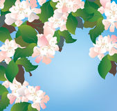 Apple blossom background with sky Stock Photos