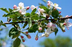 The Apple Blossom Royalty Free Stock Images