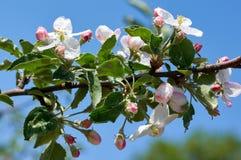 The Apple Blossom Stock Photo