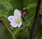 Apple blossom. Beautiful apple blossom in spring Stock Photos