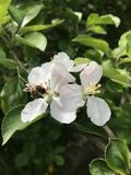 Bee on blossom Royalty Free Stock Photo