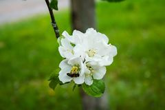 Apple blossom with bee in spring Stock Images