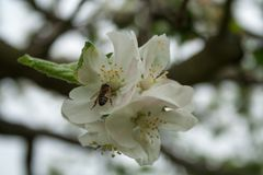 Apple blossom with bee in spring Stock Image