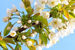 Apple blossom in bloom Stock Images