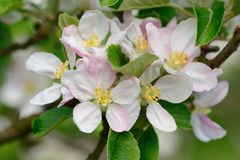 Apple blossom in bloom. Macro shot of a apple blossom in bloom Royalty Free Stock Photography