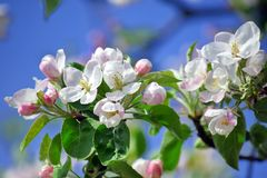 Apple Blossom Bloom Tree White Pink Stock Photo. Apple Blossom Flowers Bloom Tree White Pink Stock Photo stock photography